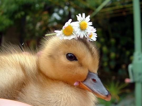 ?u=http%3A%2F%2F3.bp.blogspot.com%2F-wdCFQ_1V7XU%2FTo6OcTZzlsI%2FAAAAAAAAB20%2FugFbusfP3xk%2Fs1600%2FCute-Ducks-Photo-2.jpg&f=1