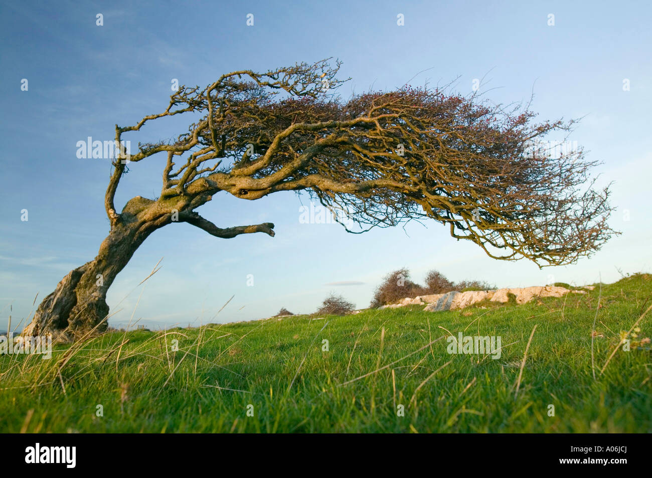 a Hawthorn tree bent by the wind, on Humphrey Head Point ...