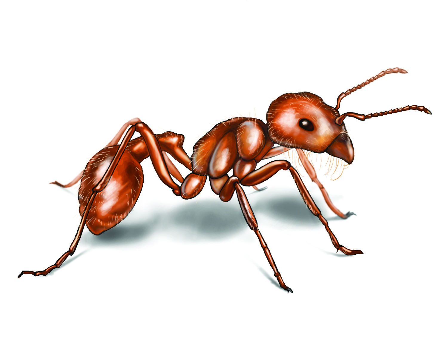 Harvester Ant Behavior: Characteristics of Harvester Ants