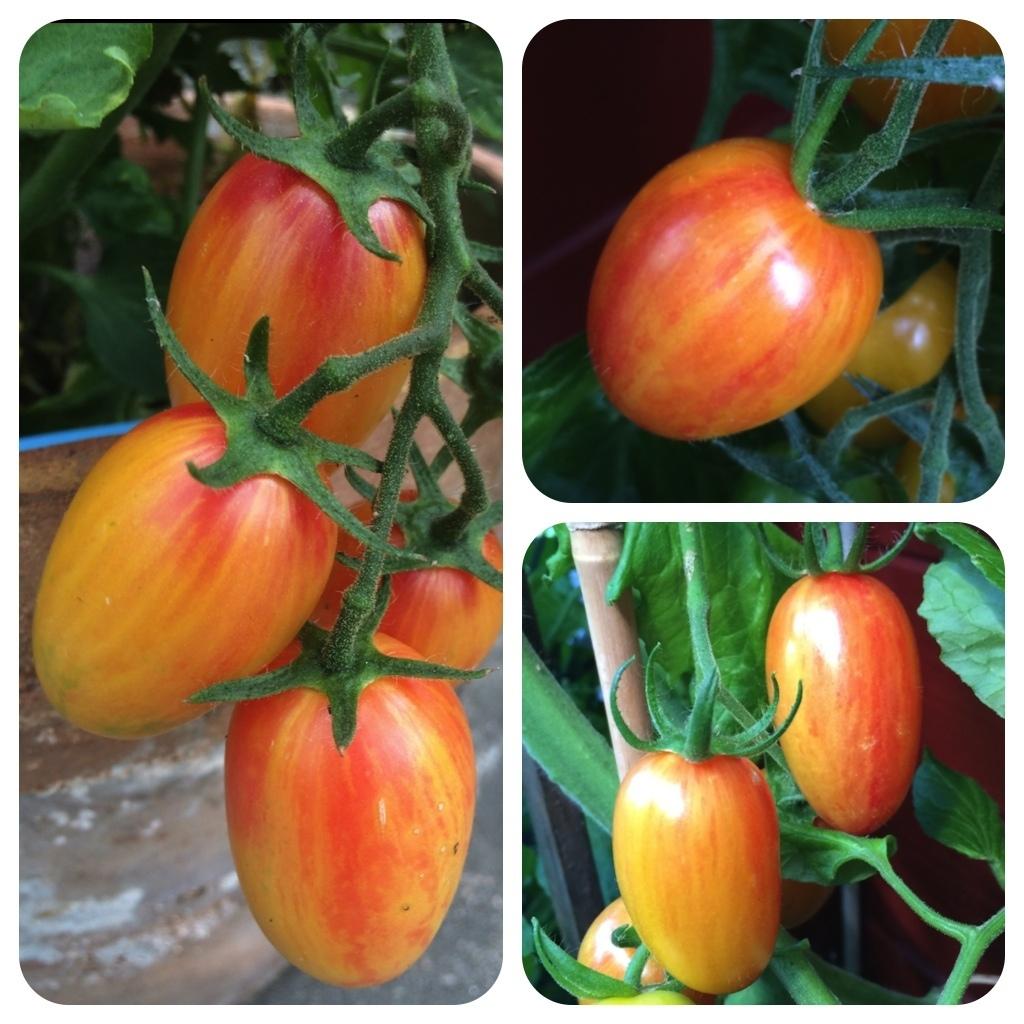 Artisan Blush Tiger gelb-pink gestreifte Tomate