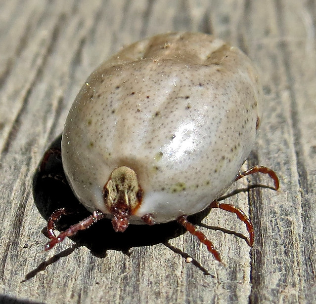 Big Fat Tick | Flickr - Photo Sharing!
