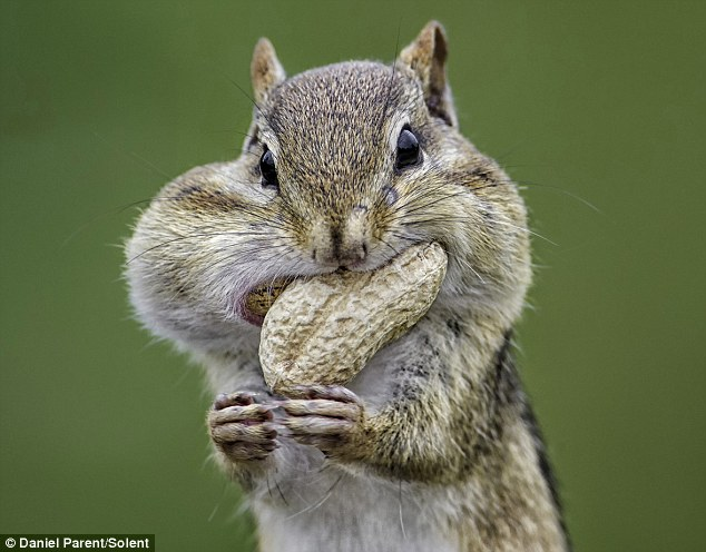 Greedy chipmunk gorges on nuts until his cheeks look ready to explode | daily mail online