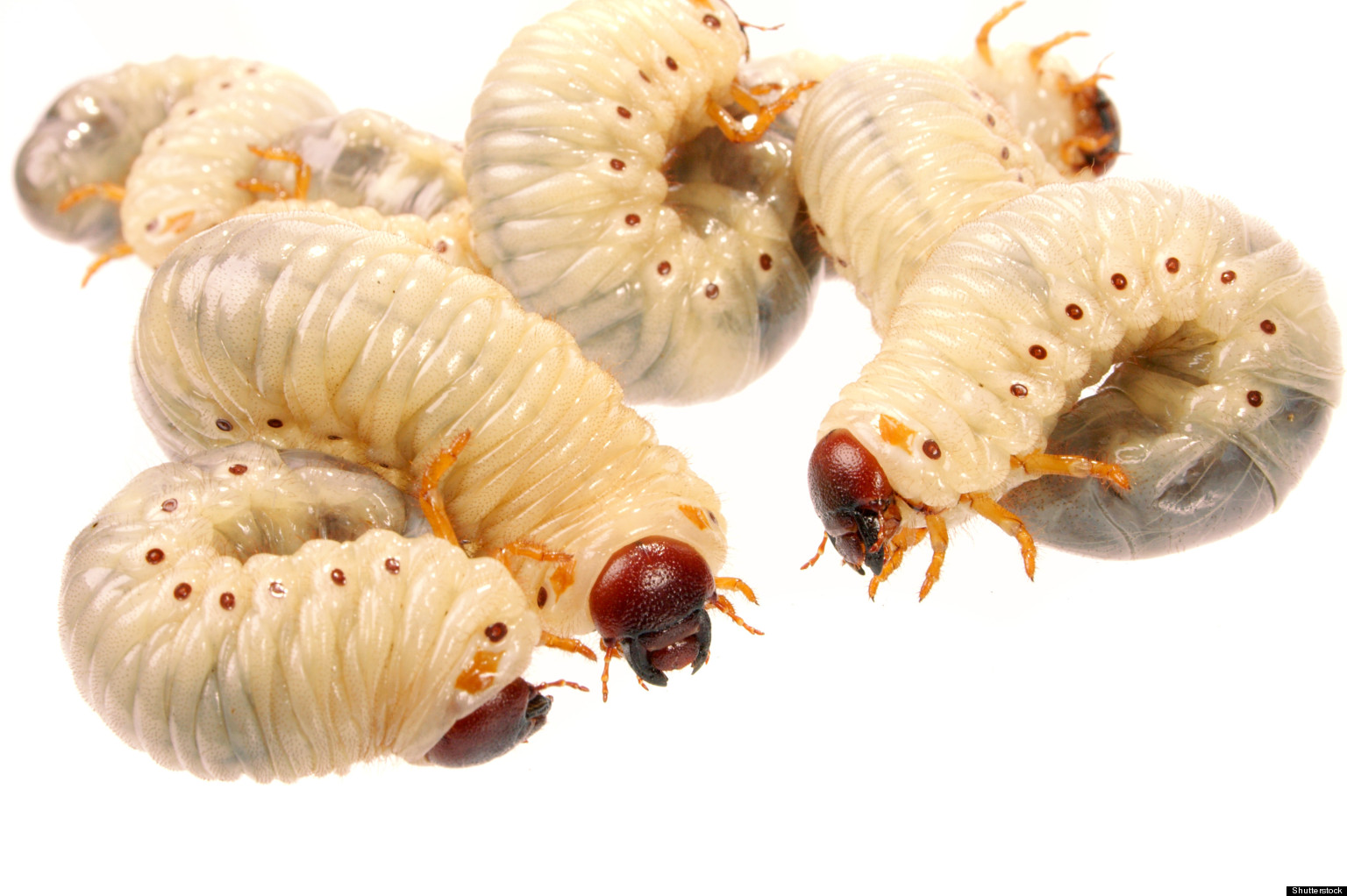 Maggots Heal Wounds By Suppressing Immune System, Study ...