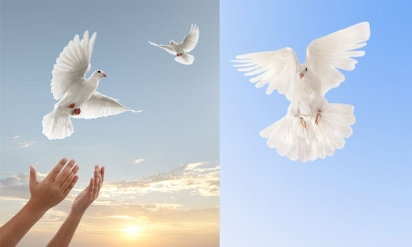 Dove bird images free stock photos download (2,685 Free ...