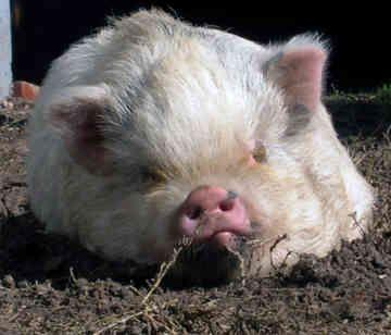 Little fat piggy   I