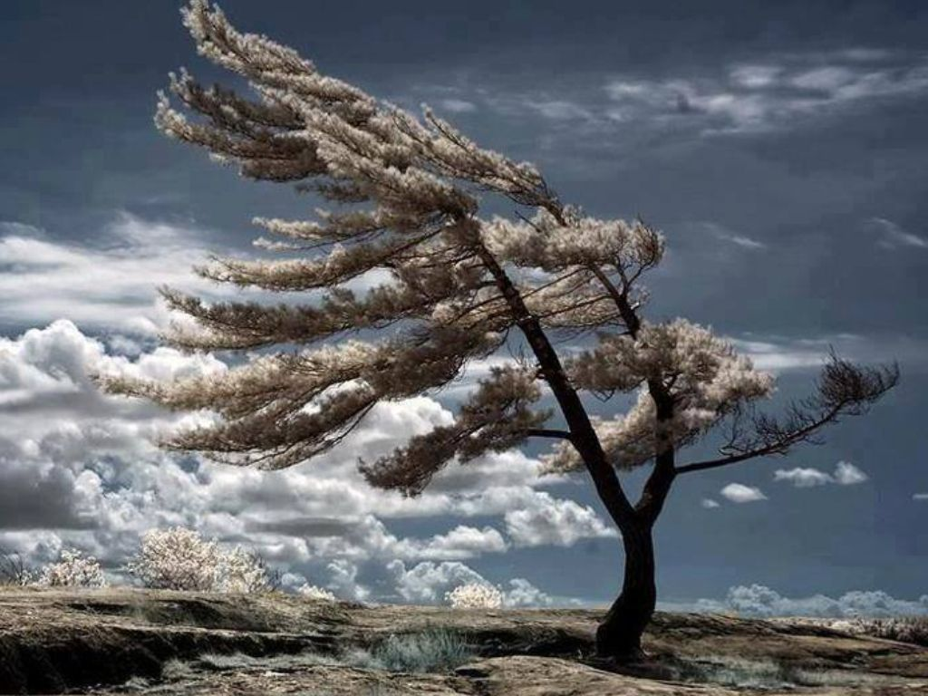 The tree shaped by the wind | Beautiful trees | Pinterest