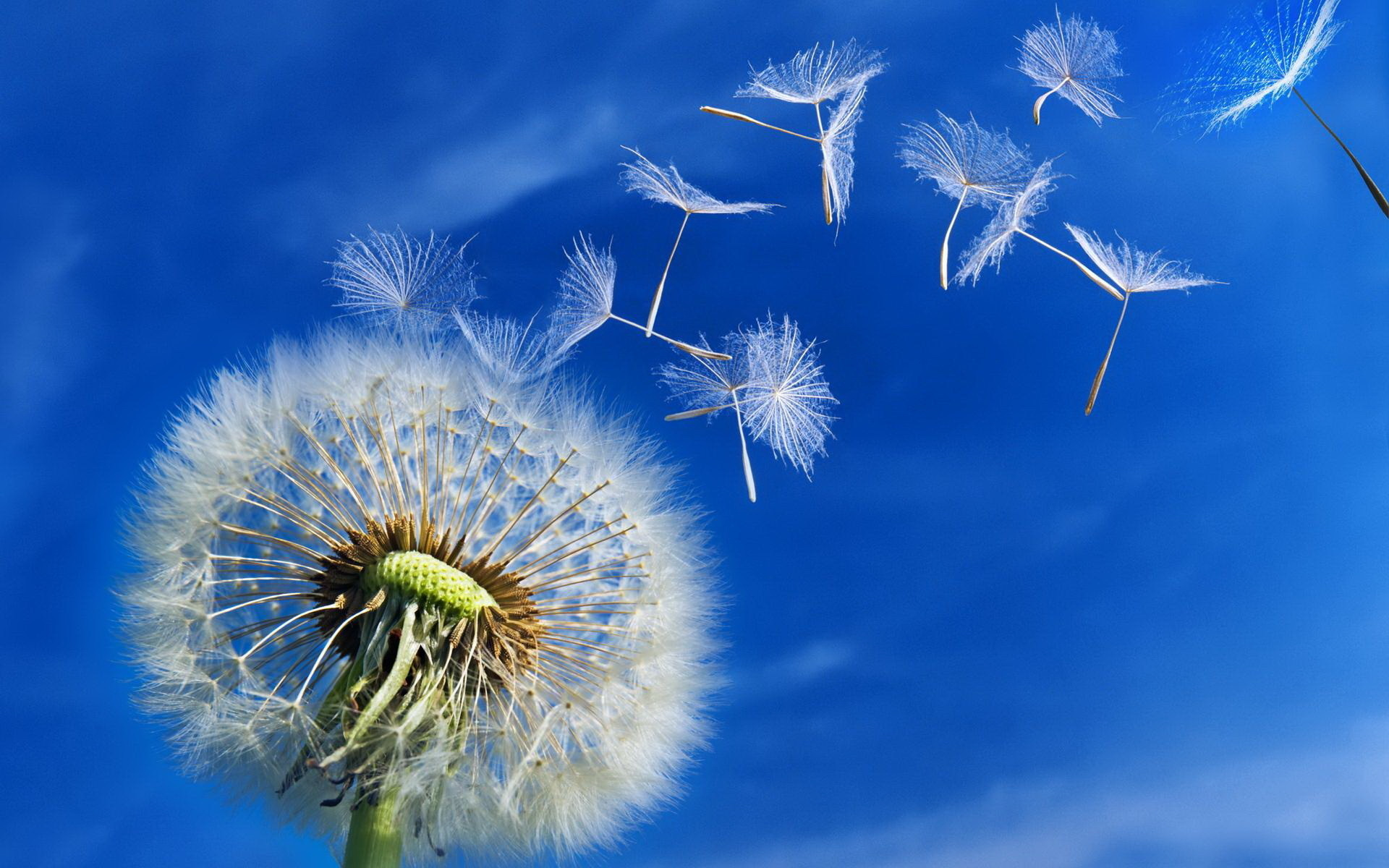 Dandelions improve your overall health, including liver ...