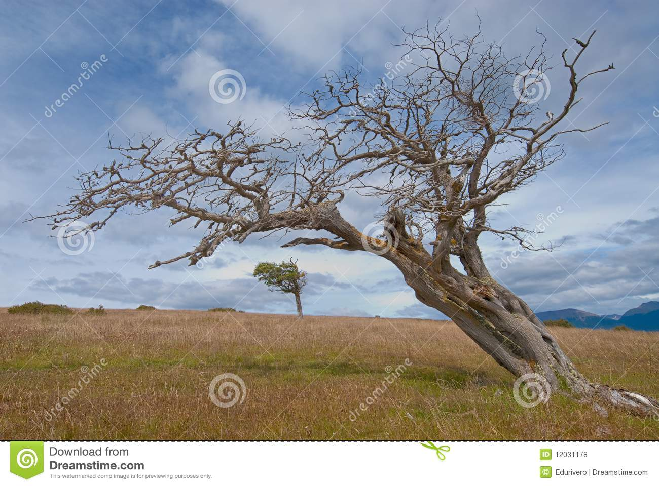 Flag Tree Shaped By The Wind In Patagonia Royalty Free ...