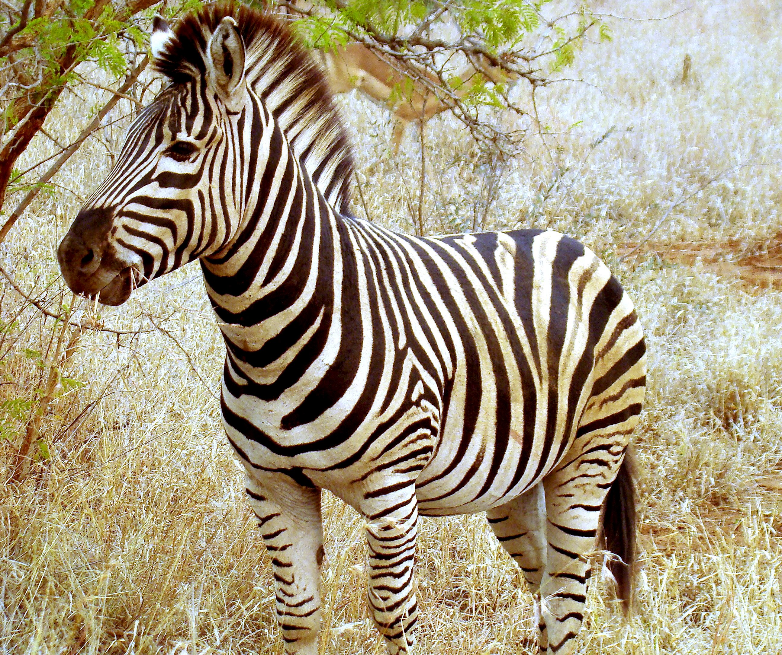 File:Beautiful Zebra in South Africa.JPG - Wikimedia Commons