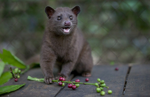 Asian Palm Civet Facts, Habitat, Diet, Life Cycle, Baby ...