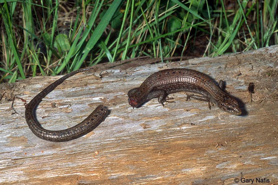 Northwestern alligator lizard - elgaria coerulea principis
