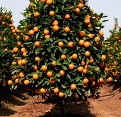 Valincia Orange | Naples Florida