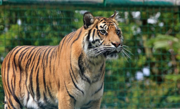 Tiger Free Stock Photo - Public Domain Pictures
