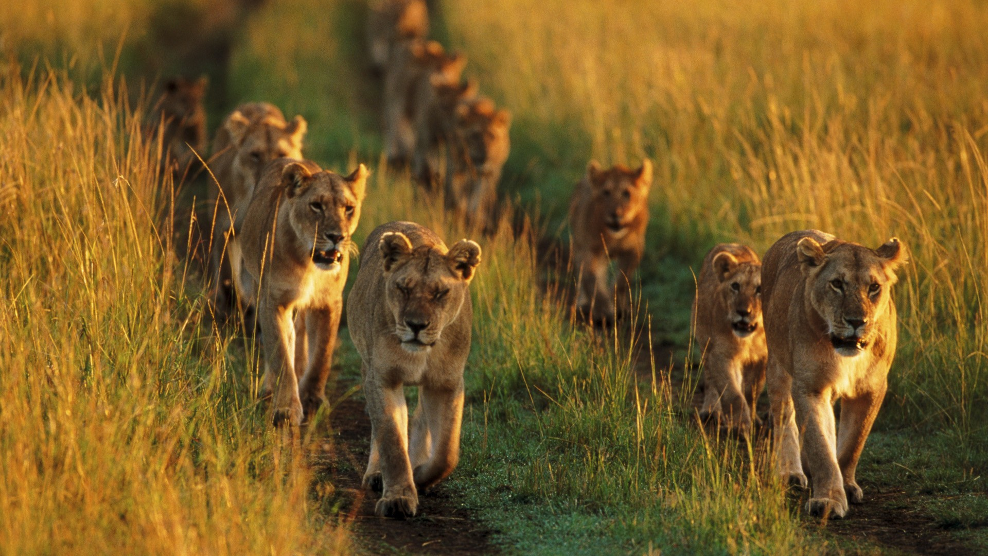 Animals pride national mara lions Kenya wallpaper ...
