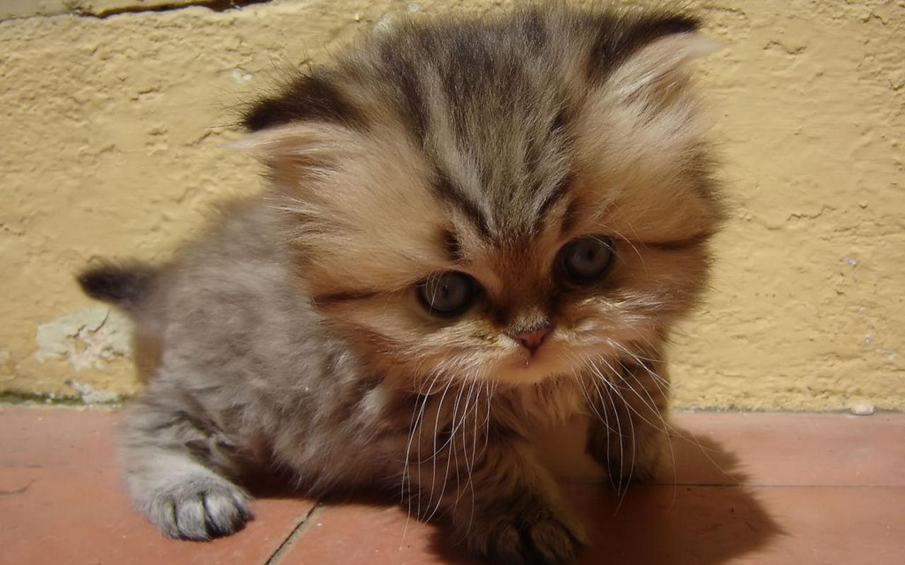 Cute-Kitten-kittens-16096815-1280-800.jp