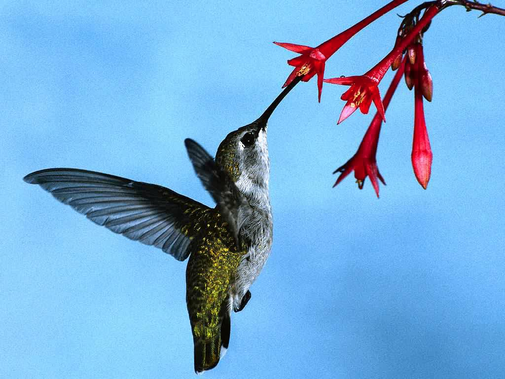 Humming Birds | Beautiful Cool Wallpapers
