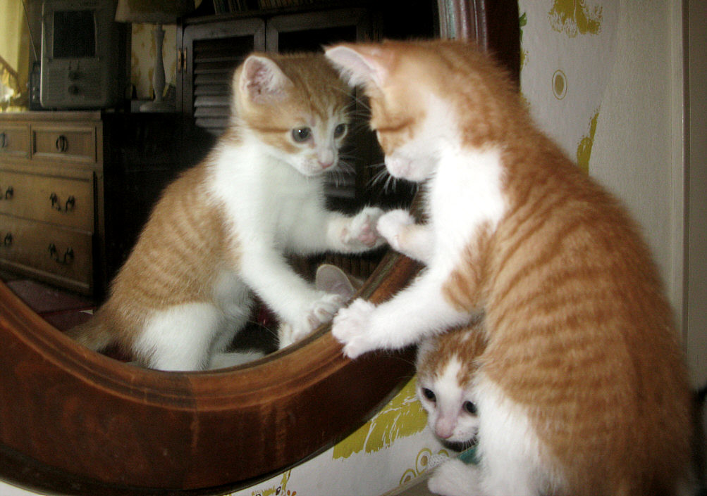 Kitten in the Mirror | This is a foster kitten looking at ...