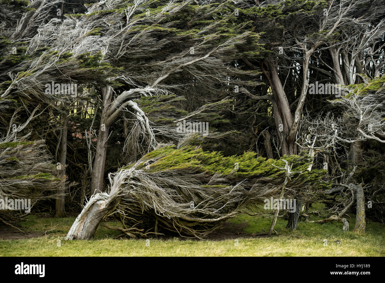 Trees shaped by the wind, Slope Point, Catlins, Southland ...