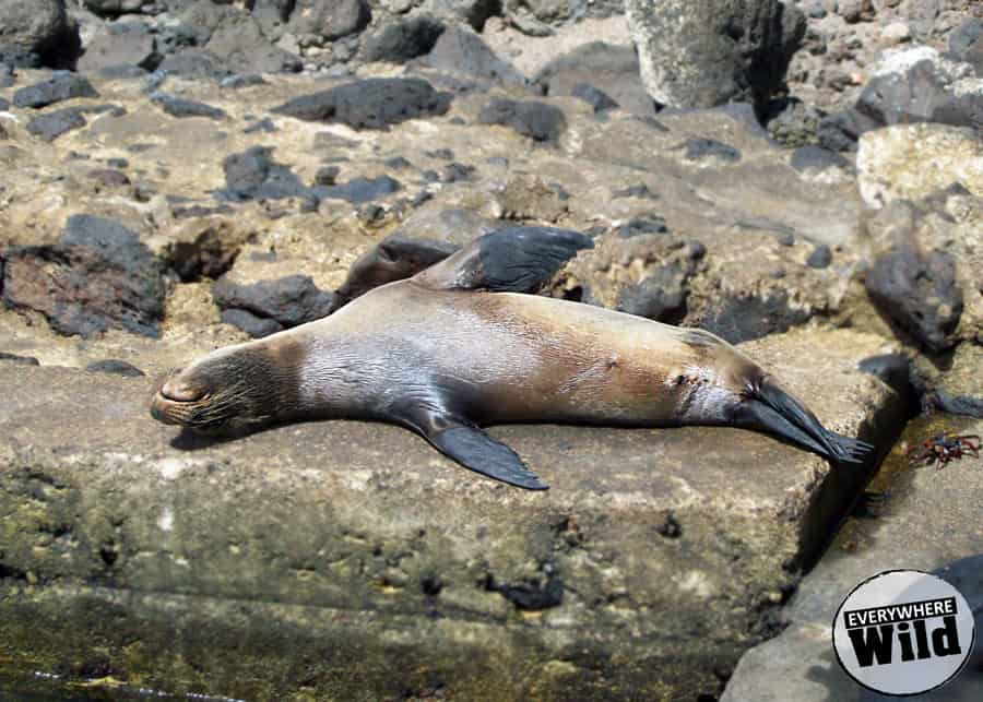 9 Cool Galapagos Sea Lion Facts for Animal Lovers