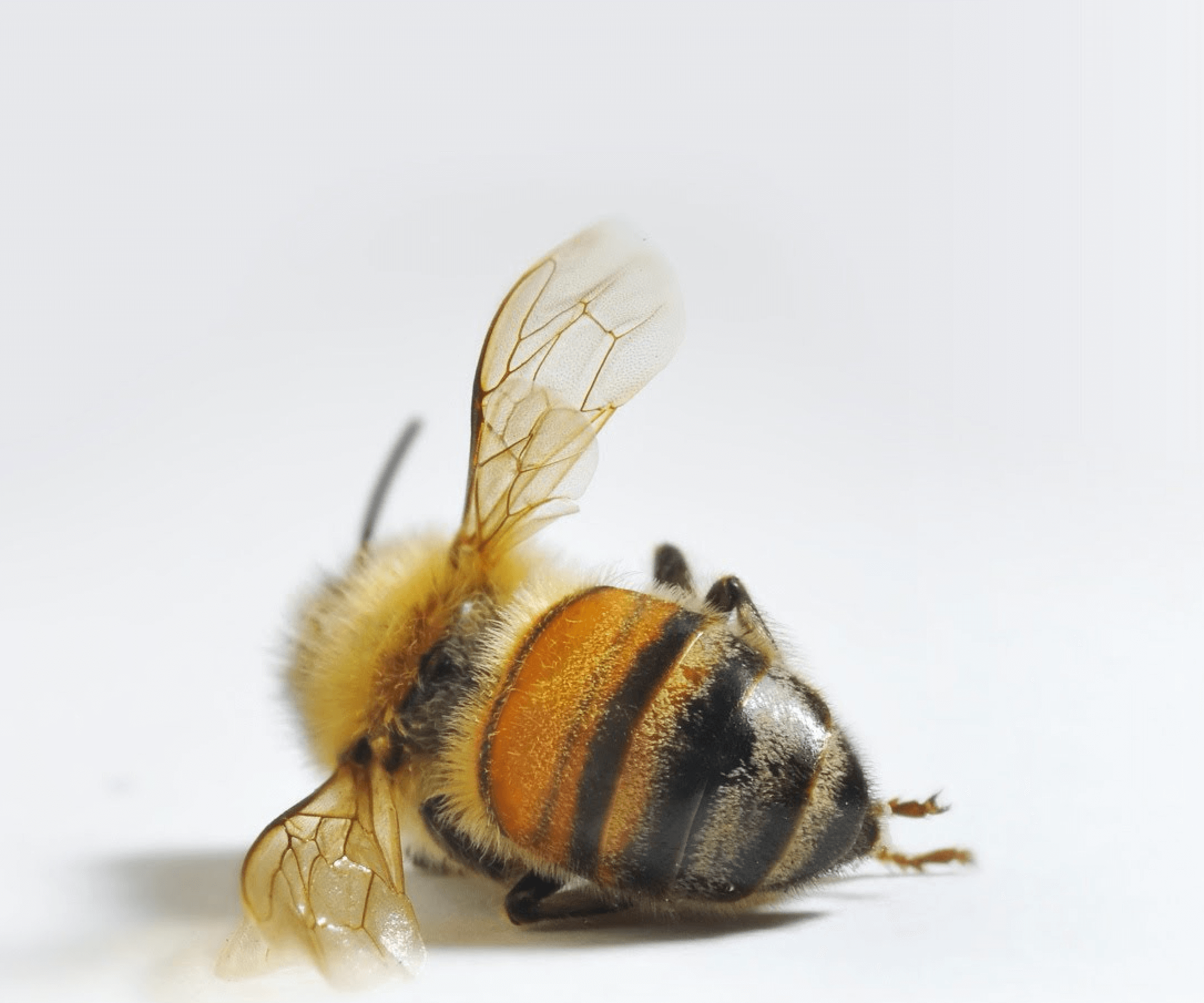 """Science by news release: Media miss on bee """"extinction ..."""