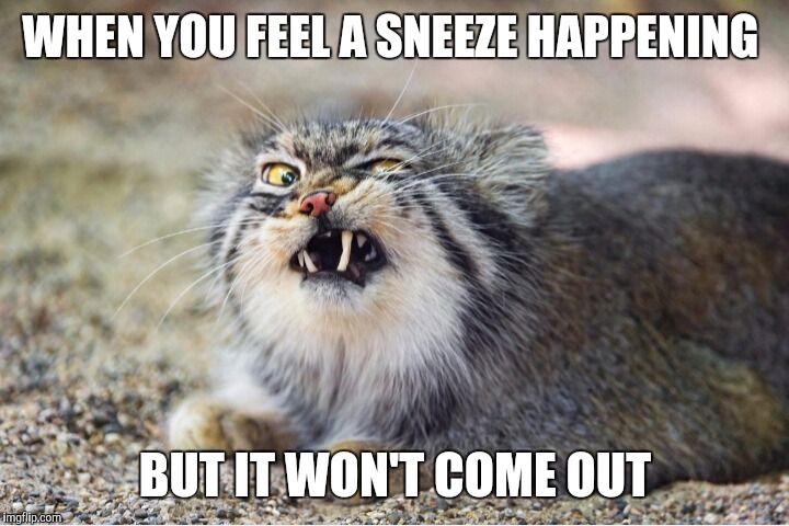 Image tagged in sneeze,cat,funny,funny memes,funny cats ...