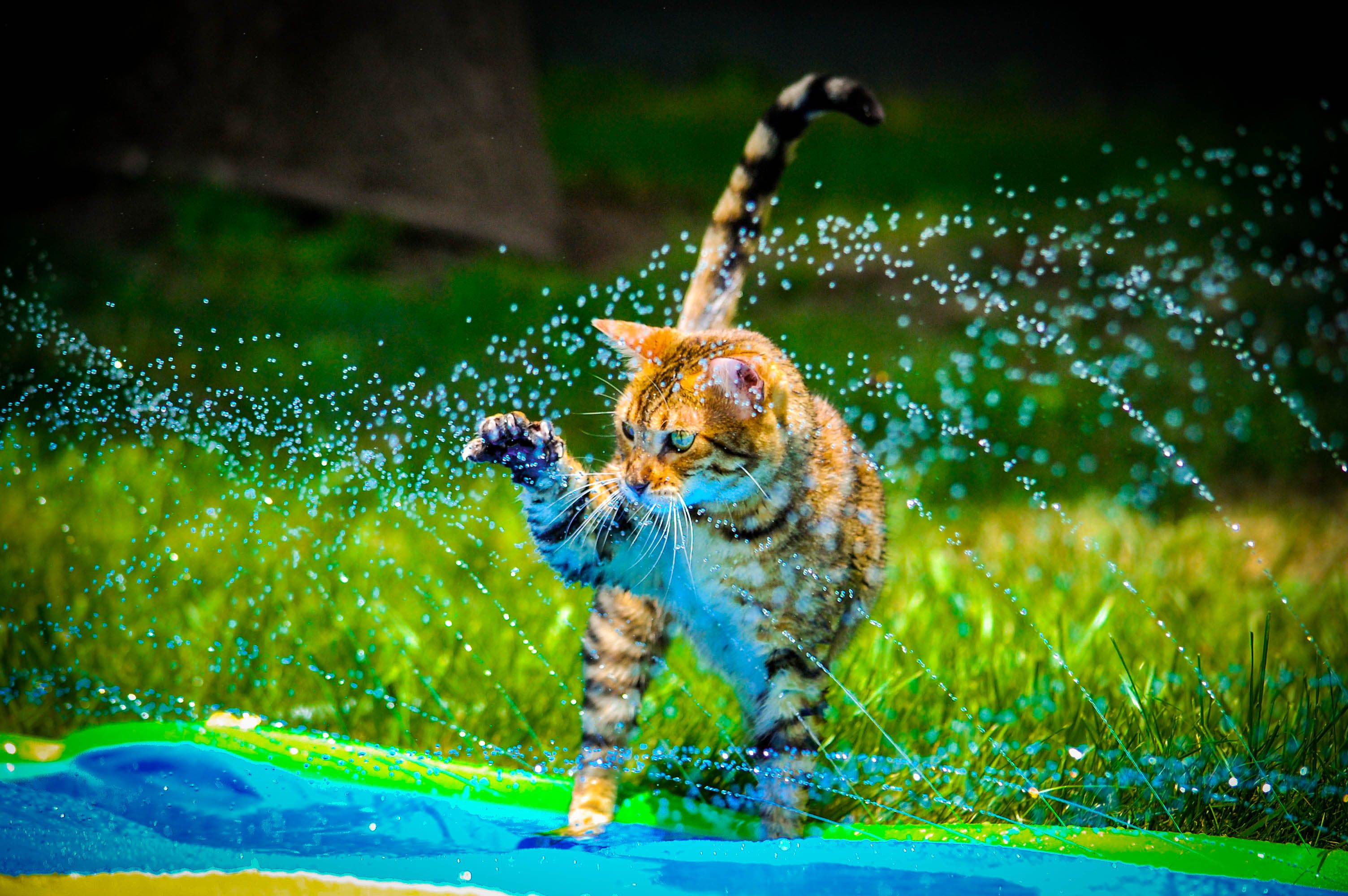 Bengal cat playing in the sprinkler.   Funny Animals ...