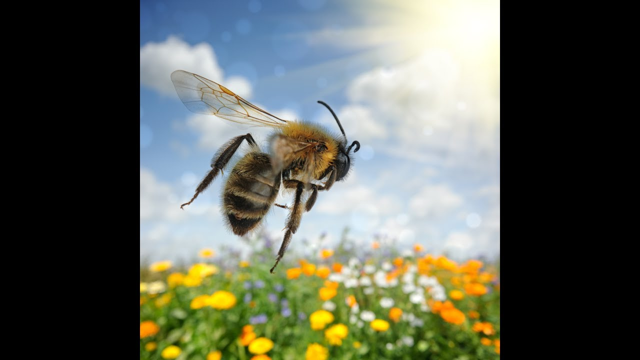 Best Honey Bee Sound Effects with Video! - YouTube