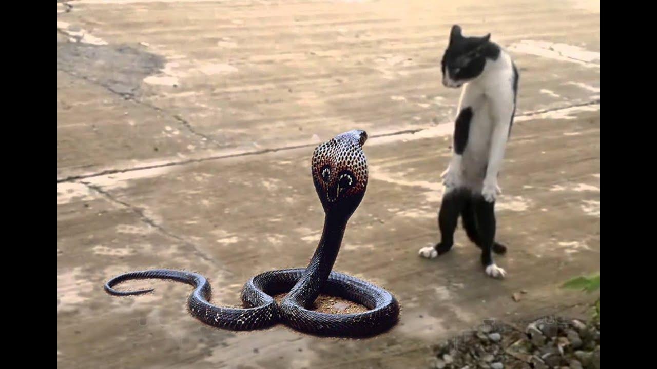 Cat vs. Cobra