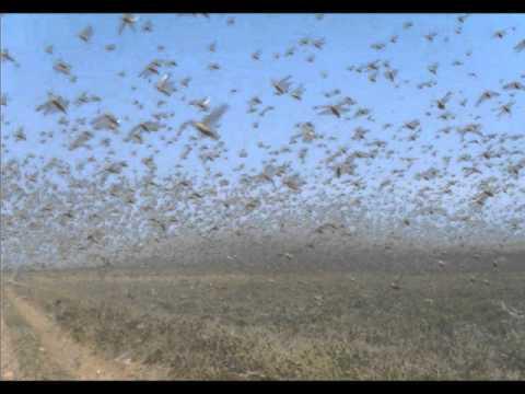 Apocalypse Plague Of Locusts attack 70,000 of farmland Rev ...