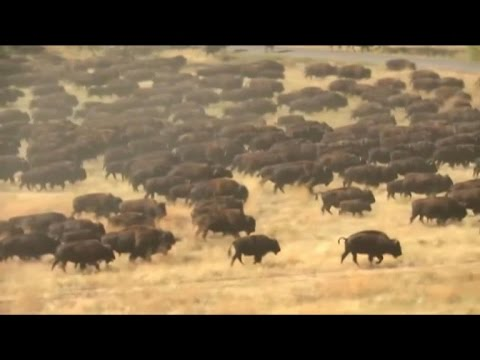 Buffalo herd wows South Dakota crowd - YouTube