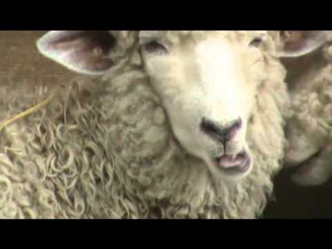 Sheep Chewing - YouTube