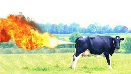 Combustible Cow Farts (Flatulence) Blows Up Cowshed ...