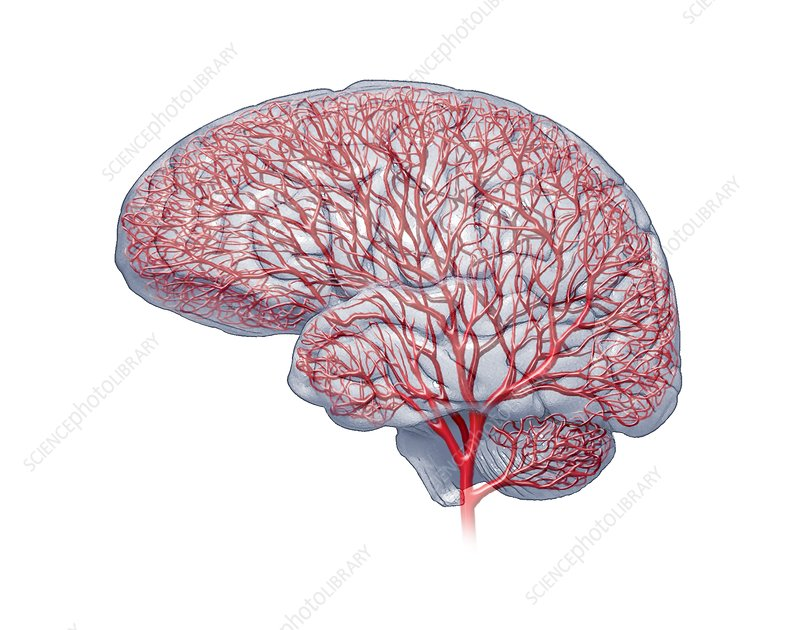 Brain blood vessels, artwork - Stock Image - C014/7092 ...