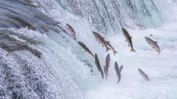 Watch how Salmon swim upstream against the raging current ...