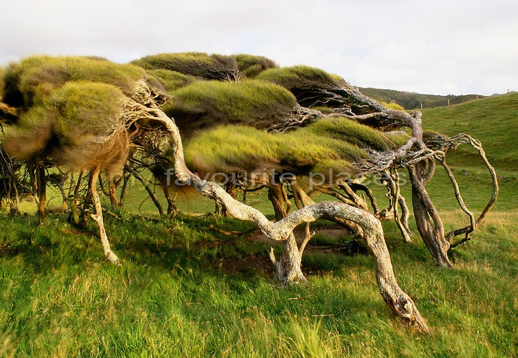1000+ images about Wind swept trees on Pinterest | Pebble ...