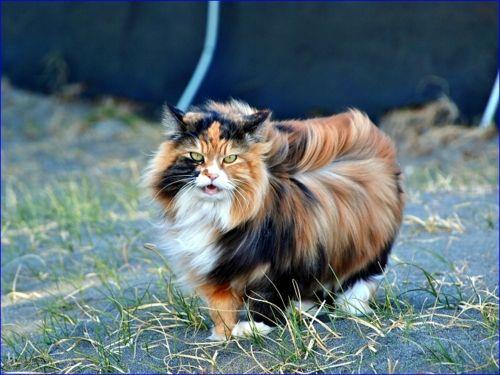 Wind blown | ^..^ Chats ^..^ | Pinterest | Cat, Cat cat ...