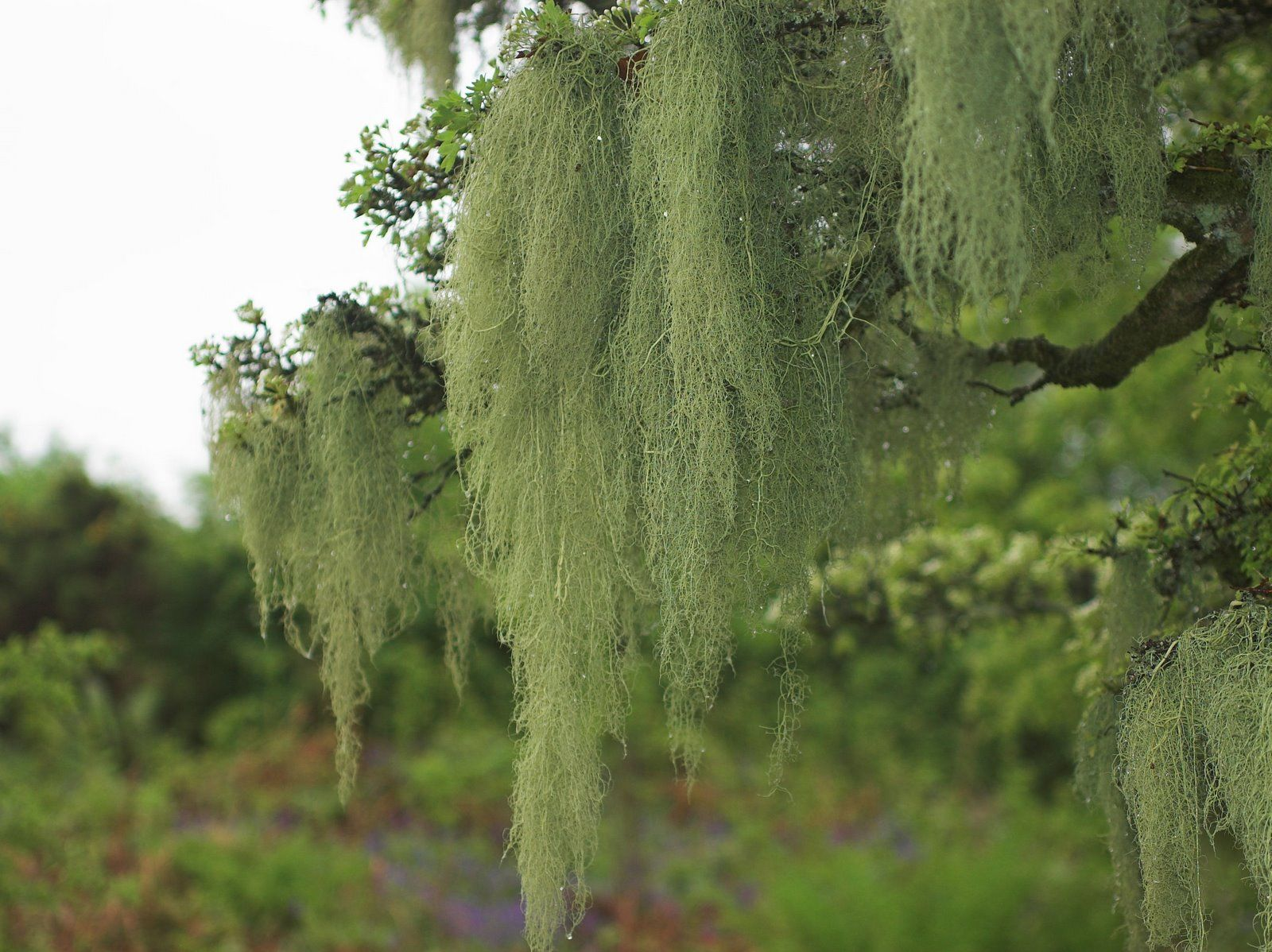 USNEA BARBATA | Herbs | Pinterest | Homeopathic remedies, Air pollution and Homeopathy