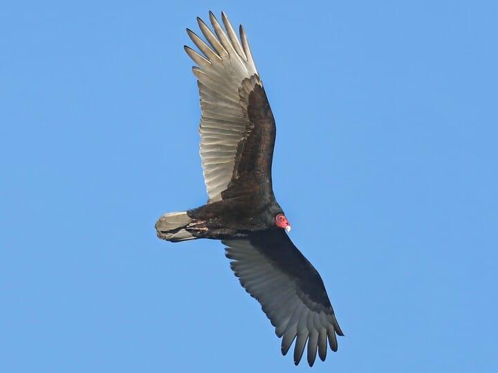 annies home: Turkey Vulture