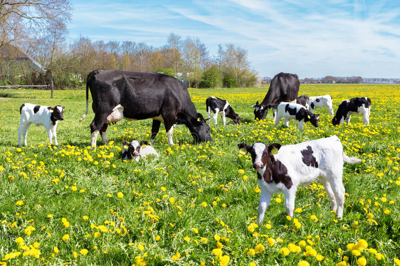 Meadow Full Of Dandelions With Grazing Cows And Calves ...