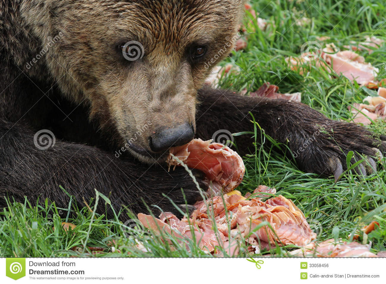 Brown bear eating meat stock photo. Image of nordic ...