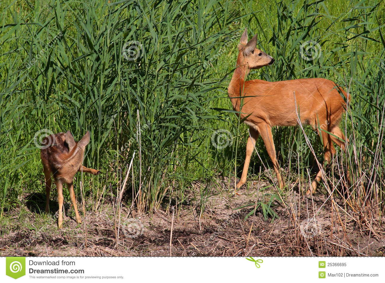Roe-deer with baby stock image. Image of animal, wildlife ...