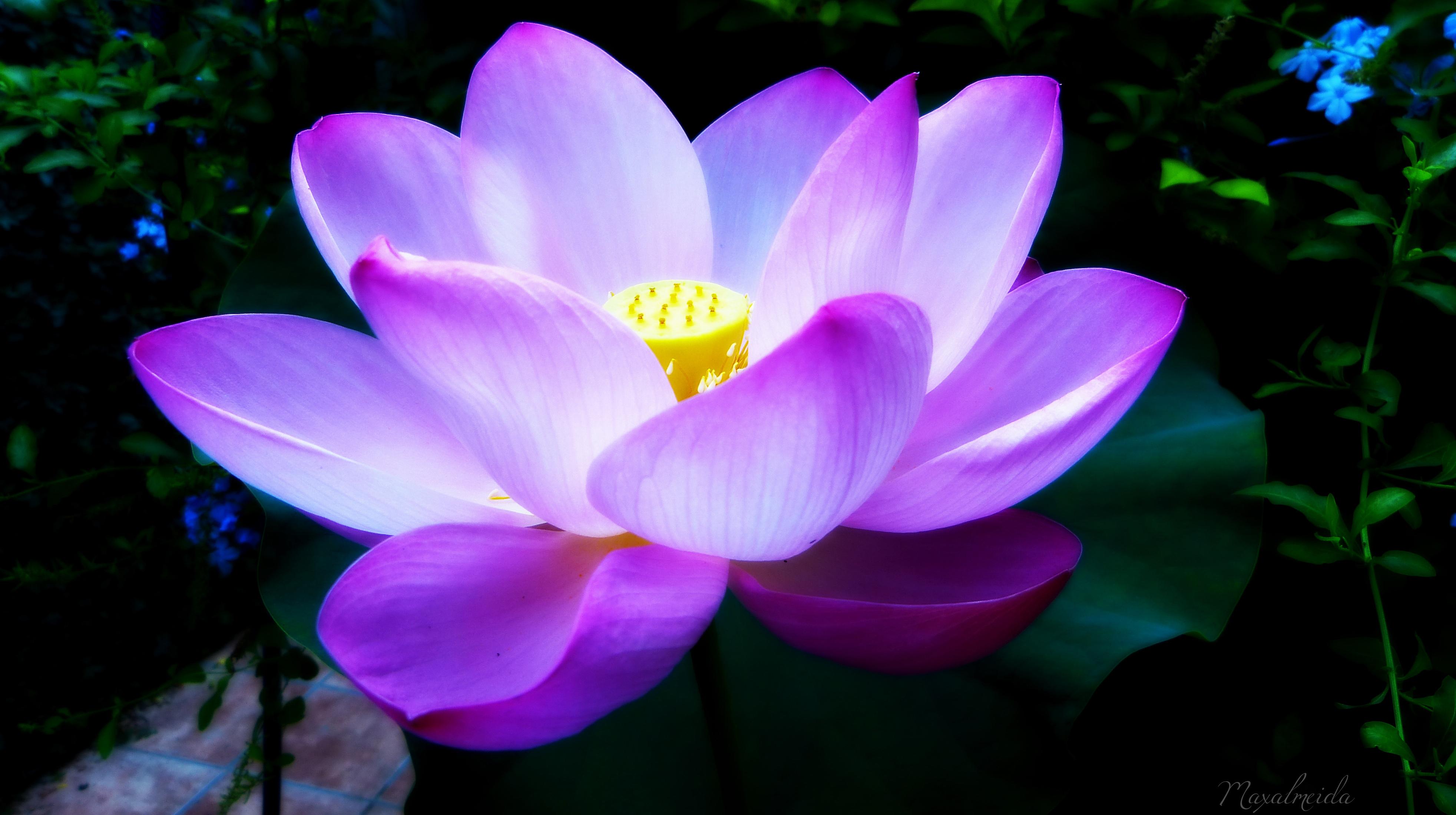Flor de Loto. Nenúfar… Analogías de una flor – Un tiempo ...