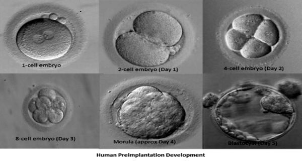 Blastocyst Culture and Transfer | Concept Fertility