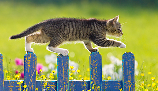 White And Tabby Kitten Walking Along Blue Fence In Garden ...