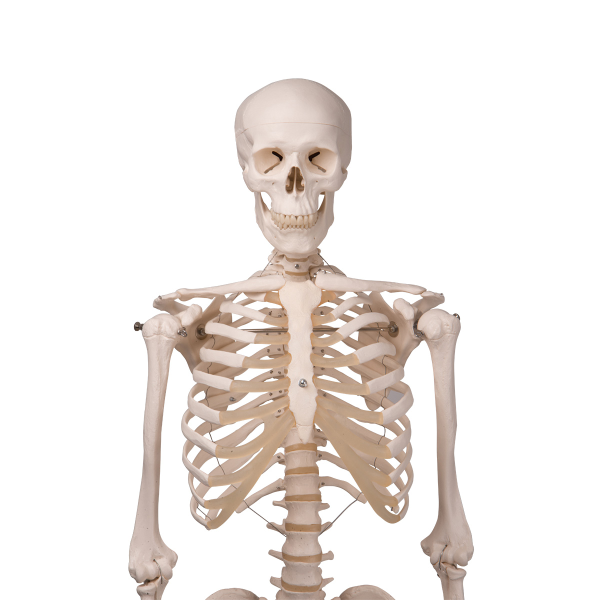 A10-1_02_1200_1200_Skeleton-Model-Stan-H